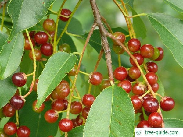 black cherry (Prunus serotina) flower buds