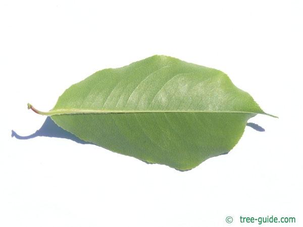 black cherry (Prunus serotina) leaf underside