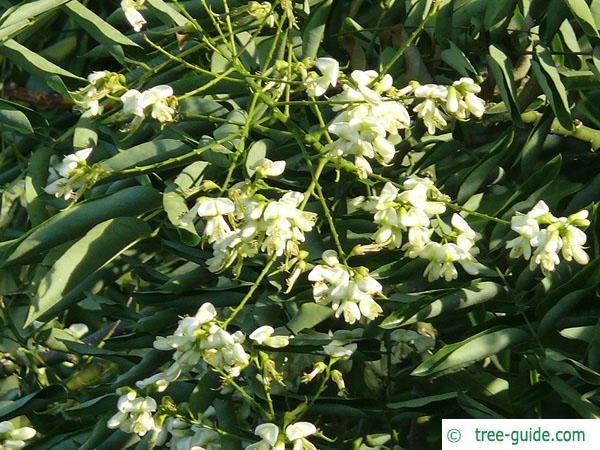 black locust (Robinia pseudoacacia) flower