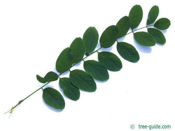 black locust (Robinia pseudoacacia) leaf