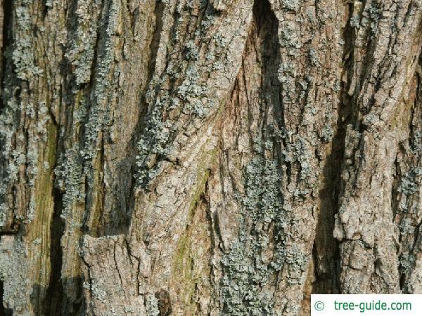black locust (Robinia pseudoacacia) trunk / stem