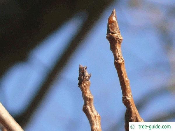 black poplar (Populus nigra) terminal bud
