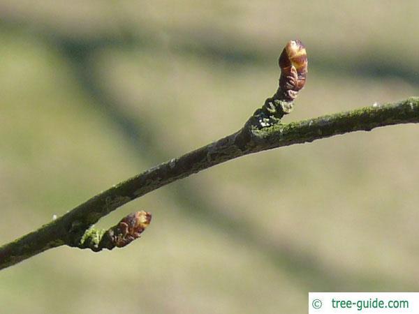 blue birch (Betula caerulea) axial bud