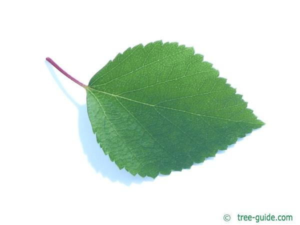 blue birch (Betula caerulea) leaf