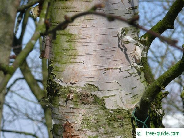 blue birch (Betula caerulea) trunk / stem