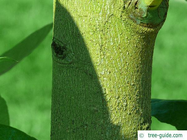 blue gum (Eucalyptus globulus) trunk / bark