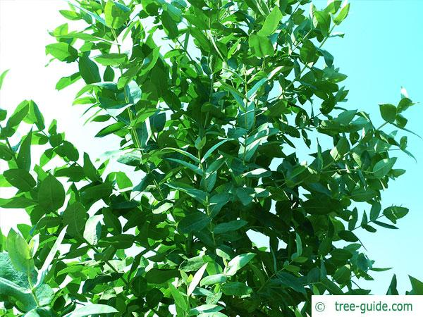 blue gum (Eucalyptus globulus) crown