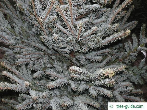 blue spruce (Picea pungens 'Glauca') needles