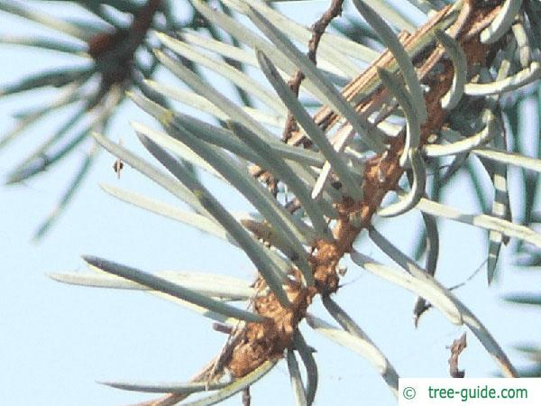 blue spruce (Picea pungens 'Glauca') needle