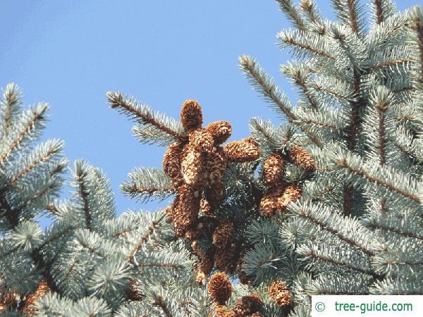 blue spruce (Picea pungens 'Glauca') cones