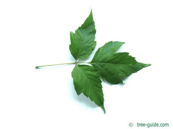 boxelder (Acer negundo) leaf underside
