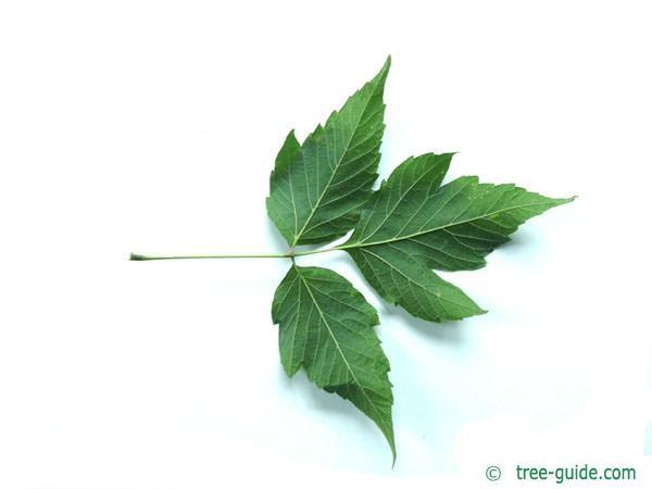 boxelder leaf (Acer negundo)