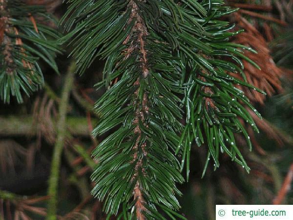 bristlecone pine (Pinus aristata) branch