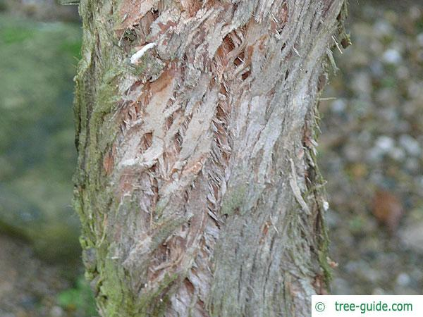 broad-leaved white mahogany (Eucalyptus umbra) trunk / bark