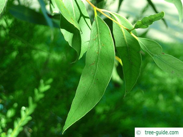 broad-leaved white mahogany (Eucalyptus umbra) leaf