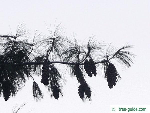 buhtan pine (Pinus wallichiana) branch
