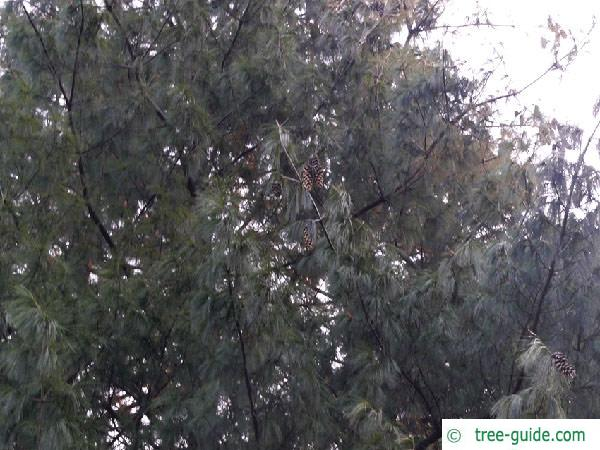 buhtan pine (Pinus wallichiana) tree