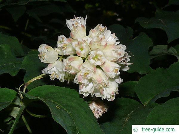 bumald bladdernut (Staphylea bumalda) blossom