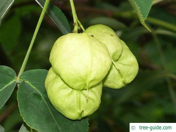 bumald bladdernut (Staphylea bumalda) fruit