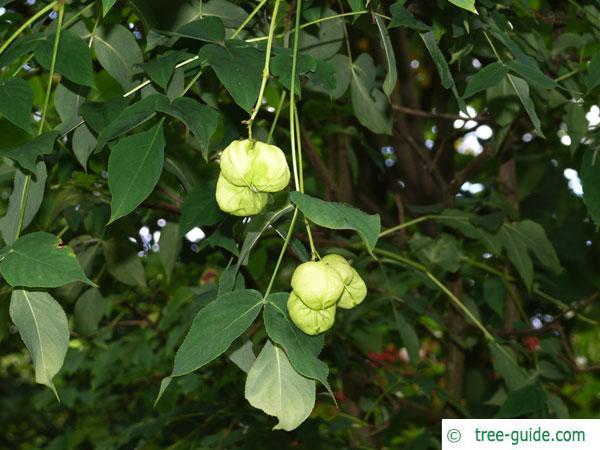 bumald bladdernut (Staphylea bumalda) fruits