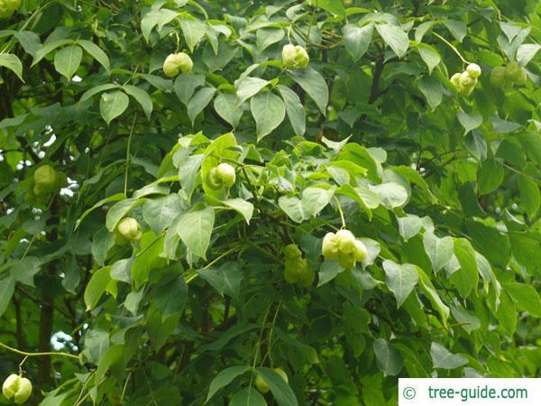 bumald bladdernut (Staphylea bumalda) leaves