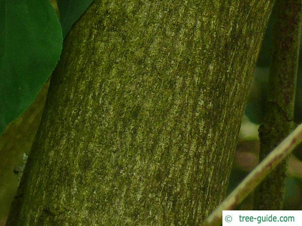 bumald bladdernut (Staphylea bumalda) trunk / bark