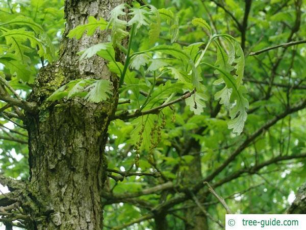 bur oak (Quercus macrocarpa) blossoms