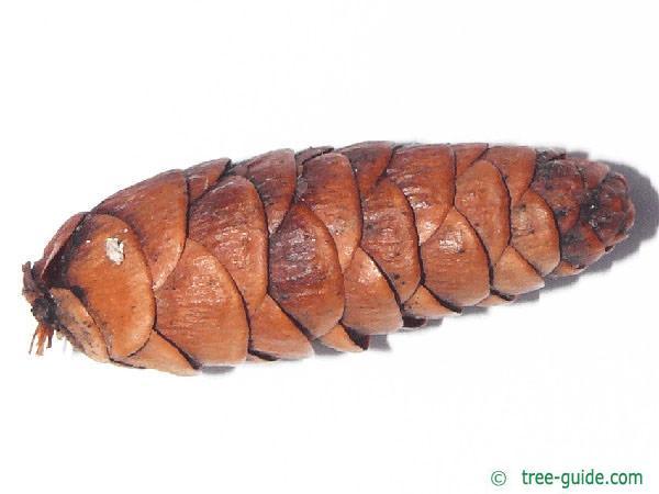canadian hemlock (Tsuga canadensis)  cones