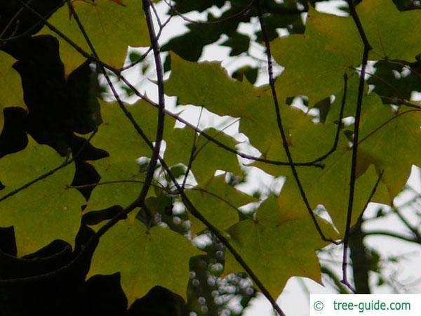 cappadocian maple (Acer cappadocicum) leaves