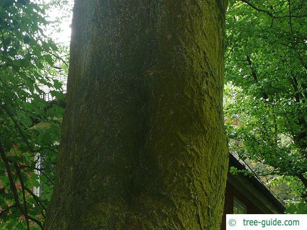 cappadocian maple (Acer cappadocicum) trunk / bark