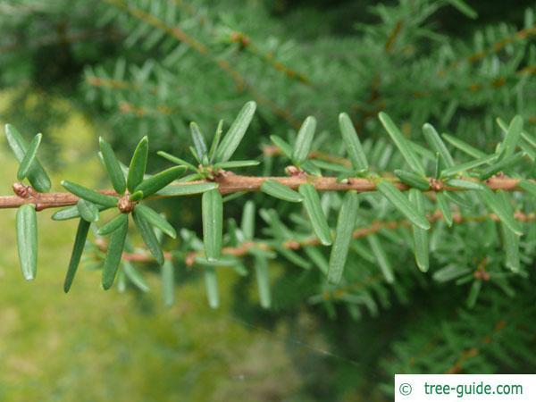 carolina hemlock (Tsuga caroliniana) branch