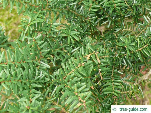 carolina hemlock (Tsuga caroliniana) branches