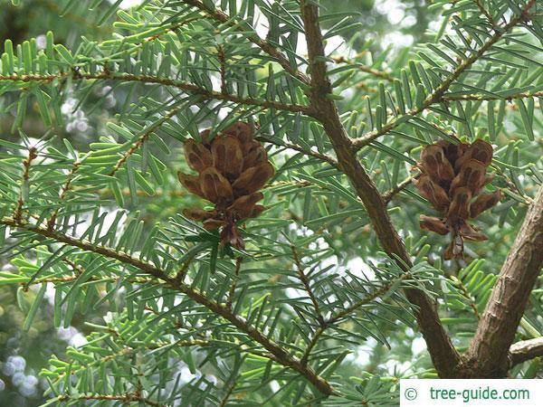 carolina hemlock (Tsuga caroliniana) cones