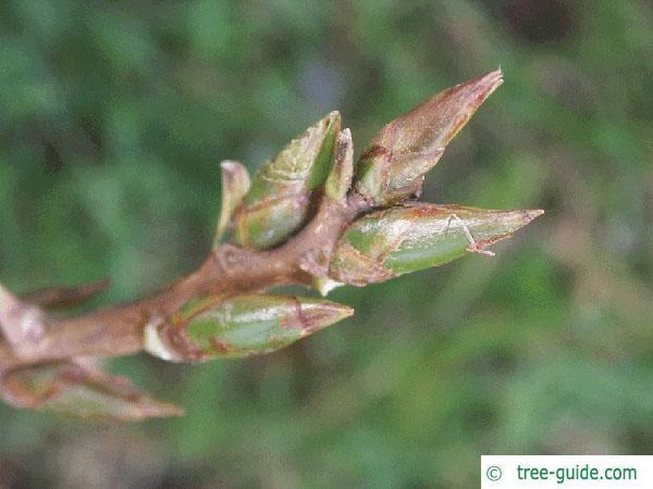 carolina poplar (Populus canadensis) bud
