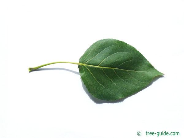 carolina poplar (Populus canadensis) leaf