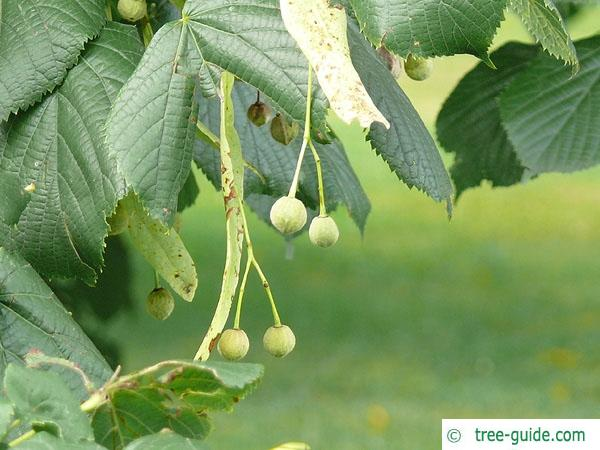 caucasian lime (Tilia x euchlora) fruits