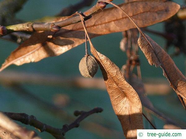 caucasian lime (Tilia x euchlora) fruit