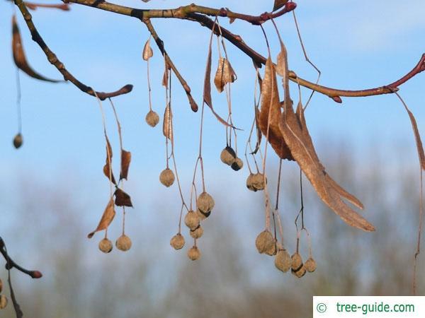 caucasian lime (Tilia x euchlora) fruit in Winter