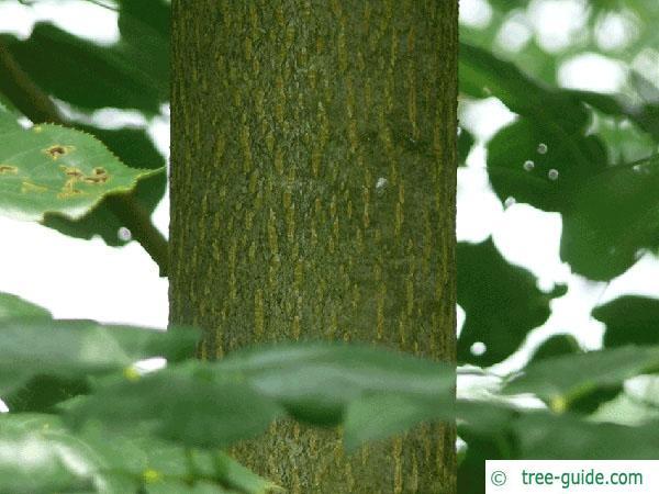 caucasian lime (Tilia x euchlora) trunk / bark