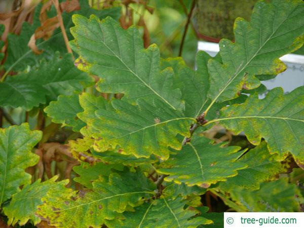caucasian oak (Quercus macranthera) leaves