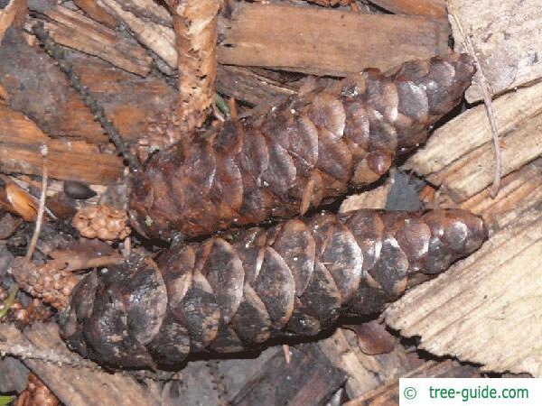 caucasian spruce (Picea orientalis) cones