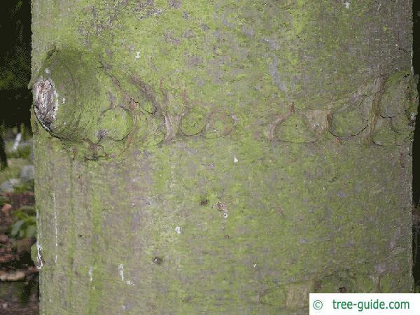 caucasian spruce (Picea orientalis) trunk