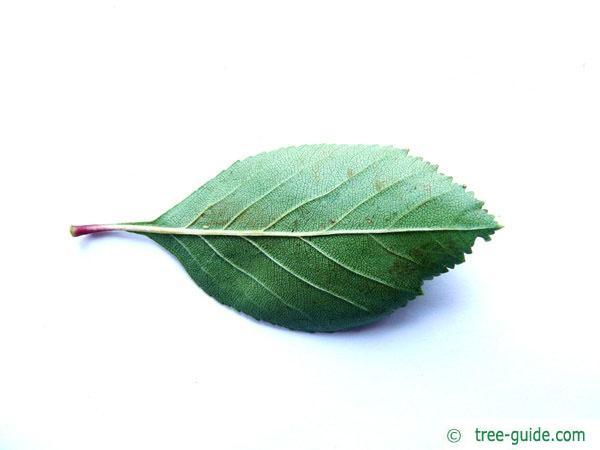 cockspur hawthorn (Crataegus crus-galli) leaf underside