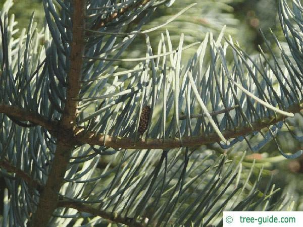 colorado fir (Abies concolor) branch