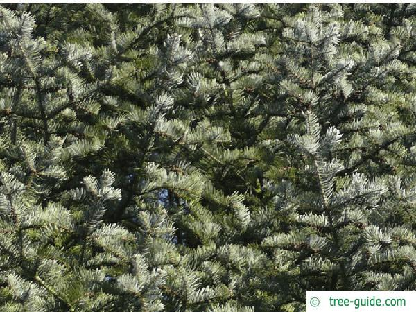 colorado fir (Abies concolor) branches