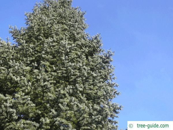 colorado fir (Abies concolor) tree