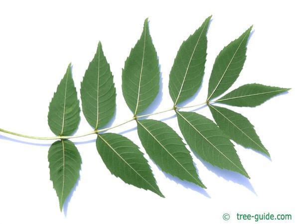 common ash (Fraxinus excelsior) leaf underside