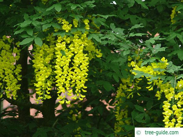 common golden chain (Laburnum anagyroides) blossom