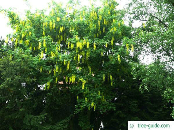 common golden chain (Laburnum anagyroides) tree in summer