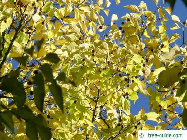 common hackberry (Celtis occidentalis) leaves in autumn